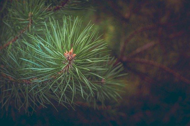pine-463469_640